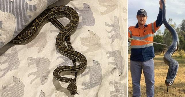 Carpet Python, Brisbane