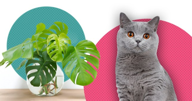 monstera deliciosa is among the plants toxic to cats