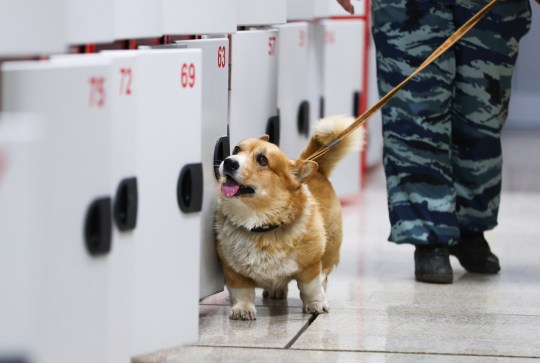 NIZHNY NOVGOROD, RUSSIA - DECEMBER 12, 2019: Ryzhy the Corgi, a Russian police dog, and his owner Olga Chumarova, a Nizhny Novgorod transport police canine handler, patrol a railway station. Ryzhy, the only corgi police dog in Russia, has been serving in the Russian police for six years. Alexander Ryumin/TASS (Photo by Alexander Ryumin\\TASS via Getty Images)