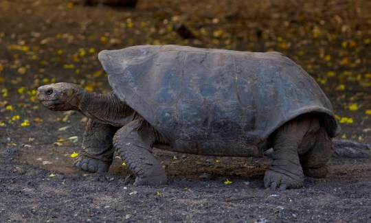 An Espanola Giant Tortoise - only 200 remain in the Galapagos island despite conservation efforts. (Credits: PA)