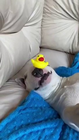 Video grab from the incredible footage of a lazy dog skilfully balancing rubber ducks on almost every limb. See SWNS story SWBRducks. This is the adorable video of a lazy dog skilfully balancing rubber ducks on almost every limb. 5-year-old Bull terrier famed for enjoying the easy life was filmed sleeping at his home in Italy. His owner decided to see if he could posisition the ducks on his sleepy companion and Sparky seems to be content to just lie there while balancing the ducks. Silvio Salvan , 45, who lives with Sparky in Brescia, Italy, said: