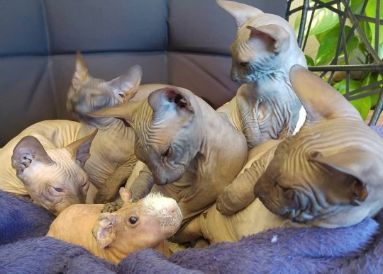 PIC BY Liukaa Balk`s/CATERS NEWS (PICTURED Luis and Sphynx cats ) An adorable guinea pig without a coat thinks hes a Sphynx cat and hangs out with a clowder of naked felines.Six-month-old guinea pig Luis has become well-known on the Internet thanks to his unique bond with a group of Sphynx cats, who are as hairless as he is. Luis lives in Estepona, Spain, with owner Oksana Baltakiene, 39, and cats Puke-Chalisa, five, Bandita-Shani, three, Chikita-Mantra, two, and Rango-Ramses, two. In a series of adorable videos and photos, Luis is seen hanging out with the Sphynx family, cuddling with them on the couch and climbing on their backs.Oksana said: The cats immediately adopted Luis as part of the family and they think hes their brother. The only cat who has a little bit of a strange relationship with Luis is Rango-Ramses, who is afraid of him and always panicking around him. Guinea pigs are very social animals and they like company, so Luis loves to be together with the cats, and loves to be patted by them as well. SEE CATERS COPY.