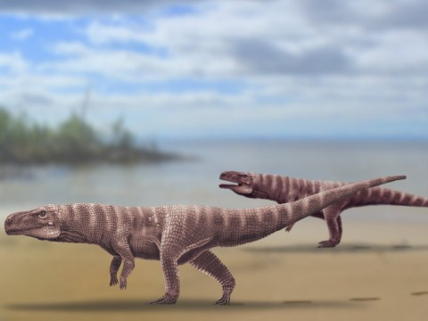 This crocodile lived 120 million years ago and walked like a dinosaur