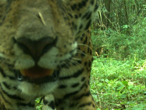 Jaguar numbers have doubled in South America, study suggests