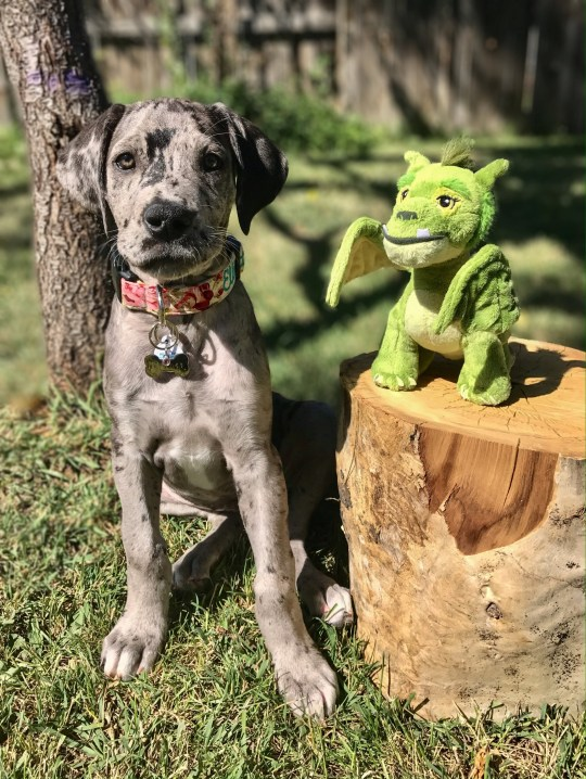This heart warming set of images shows an adorable Great Dane who has grown up with his faithful favourite toy by his side. Elliot Mae is 3-year-old Merle Great Dane who lives with her family in Denver, Colorado. See SWNS story SWBRdragon; Elliott was named after a character from the Disney film ?Pete?s Dragon? and she has had her favourite toy dragon also named Eliott her entire life.The amazing image set shows Eliott Mae and her favourite dragon growing up together from 2017 all the way up to 2020.