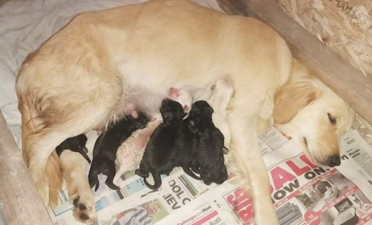 New mum, Boo with her newborn pups. A British couple who saved an unwanted dog from 'death row' in a Serbian kennels got more than they bargained for after she unexpectedly gave birth to 12 puppies. Audrey Hampshire and partner Maynard Dockerty agreed to rescue eight-month-old Boo after reading on Facebook that she was waiting to be put down. Boo, a Labrador-retriever cross, was transported across Europe and arrived with the couple shortly before lockdown. They worried they were over-feeding Boo when she soon began piling on weight before a scan at a vets revealed she was pregnant. She has since given birth to 12 puppies.
