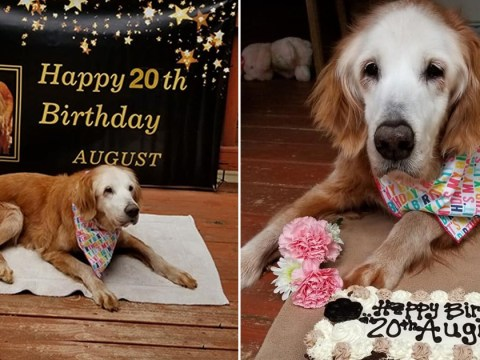 August just turned 20, making her the 'world's oldest golden retriever'