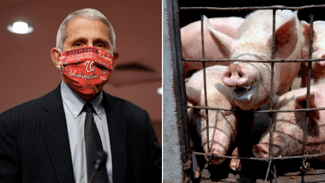 Photo of Dr Fauci next to photo of pigs in cage