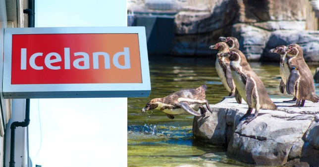 Iceland logo and Chester zoo penguins