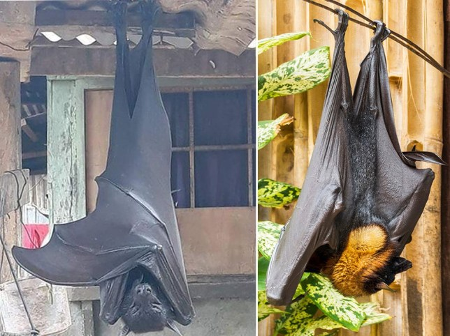 the golden crowned flying fox bat