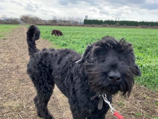 ***EMABARGOED 2PM BST / 9AM EST JULY 3 2020*** Alfie the dog. See SWNS story SWOCalfie. A family dog needed a life-saving operation after he swallowed a staggering 26 golf balls while out on walks with his owner. Dad-of-two Neil Taylor, 50 regularly walks Alfie, his 10-year-old giant schnauzer through a golf course near their home. But unbeknown to him, Alfie had been gobbling up stray golf balls during their recent walks. They only found out after Alfie became poorly at his doggy day car - and then proceeded to vomit up four golf balls in Mr Taylor's back garden.