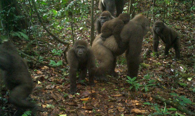 This photo taken by a camera trap shows a group of Cross River gorillas in the Mbe Mountains of Nigeria on Monday, June 22, 2020. (WCS Nigeria via AP)