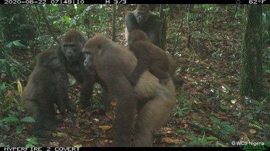 Cross River gorillas and their infants captured by a remote camera trap are seen in Mbe Mountains, Nigeria June 22, 2020. Picture taken June 22, 2020. Wildlife Conservation Society (WCS) Nigeria/Handout via REUTERS ATTENTION EDITORS - THIS IMAGE HAS BEEN SUPPLIED BY A THIRD PARTY. NO RESALES. NO ARCHIVES. MANDATORY CREDIT. NO NEW USES AFTER AUGUST 7, 2020.
