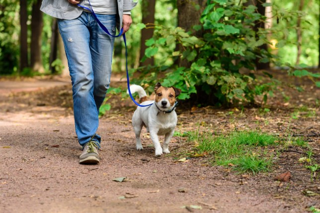 Jack Russell Terrier and walker at nature