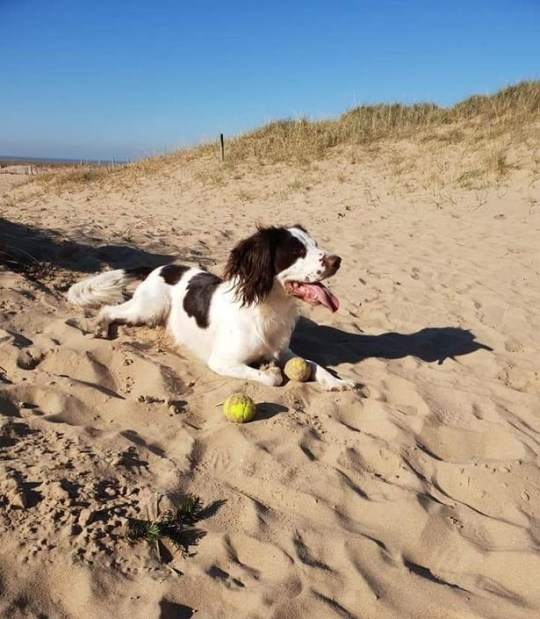 A family from Lytham St Annes have spoken out to warn others after the death of their family dog was caused by littering. Bandit, a Welsh Springer Spaniel, passed away after eating left over barbecue food during his walk on Lytham beach.
