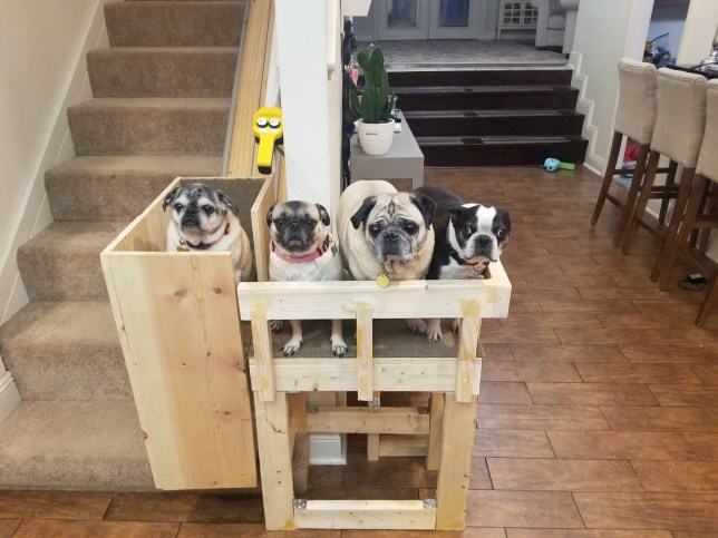 elderly pugs George, Emery, Bodhi and Sam in the diy stairlift their owner sonya built