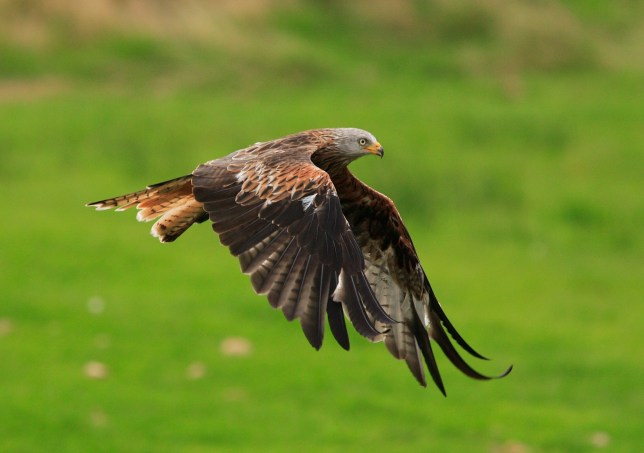 Red kites thriving 30 years after reintroduction in UK