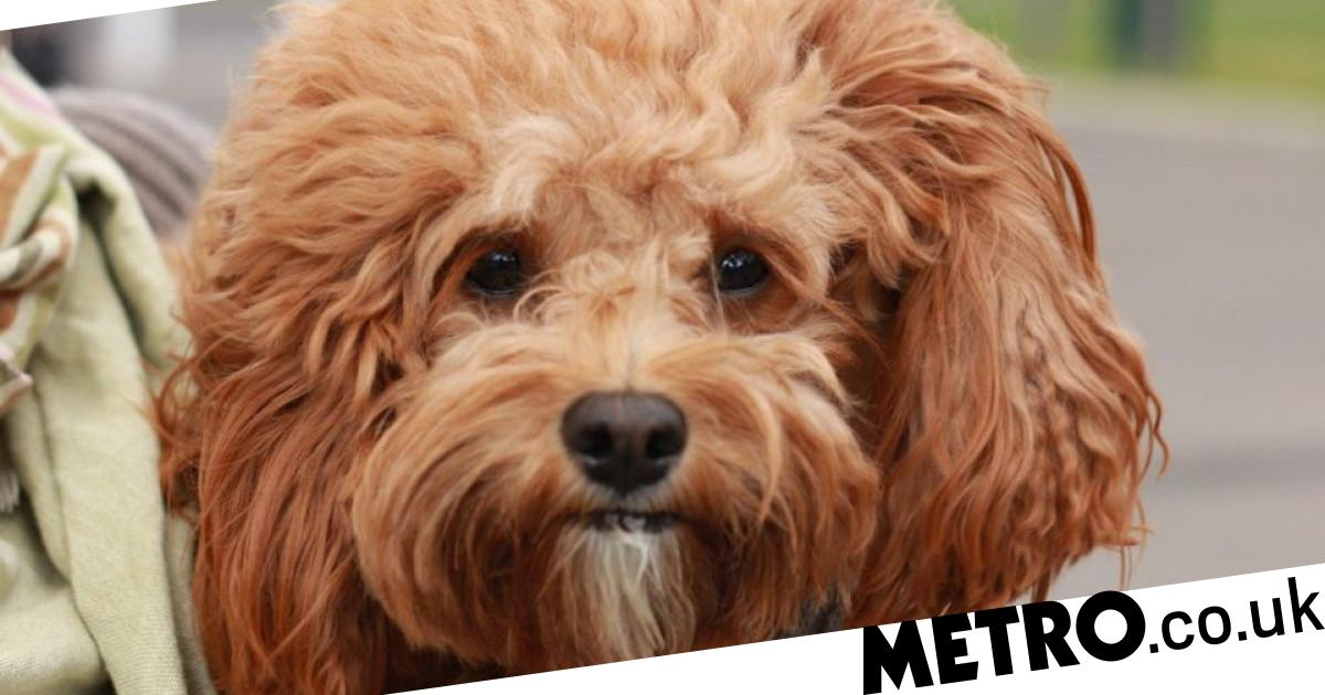 Dog owners warned of 'puppy snatchers' after attempts to steal pets on walks