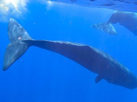 Sperm whales' daily lives studied by underwater robots