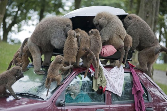 Undated Knowsley Safari Park handout photo of baboons at the park in Merseyside unpacking a visitors suitcase on the roof rack.