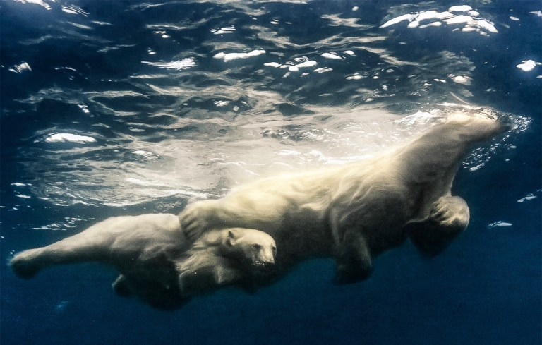 The mother polar bear with her leg around her young to protect it (Picture: Amos Nachoum)