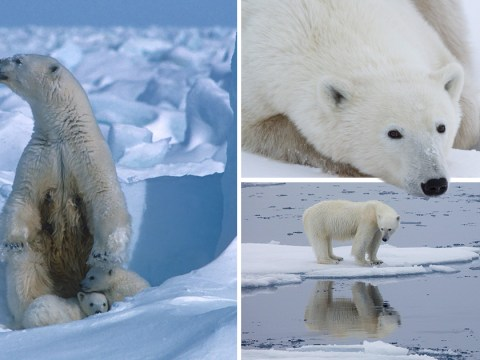 Polar bears could be extinct in 80 years if more is not done about climate crisis