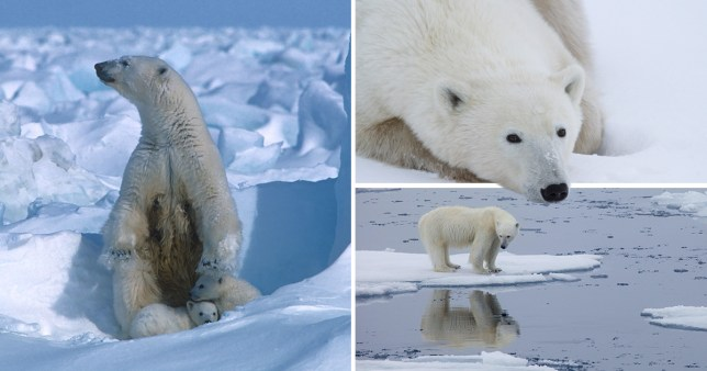 Composite image of polar bears