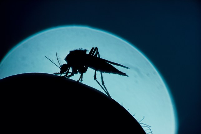 A mosquito, that is silhouetted against the moon,bites a human arm.