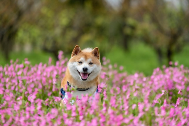 Pet dog shiba inu running through field of pink flowers