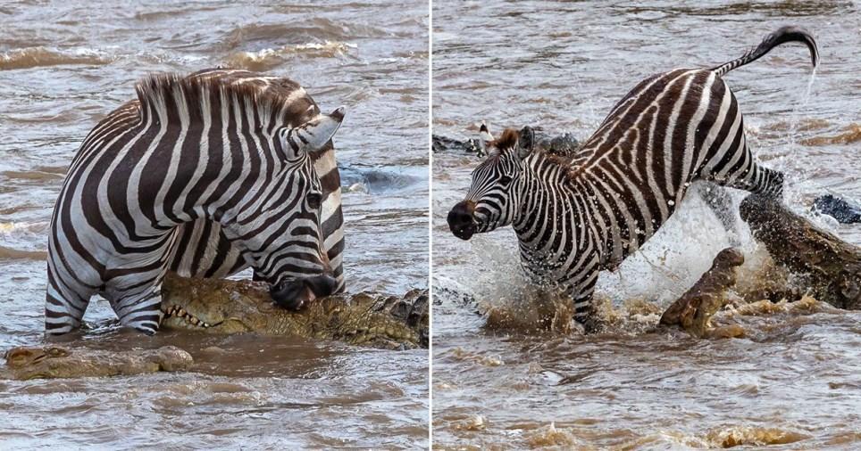 Un zèbre se bat contre un crocodile deux fois sa taille dans la rivière Mara au Kenya.