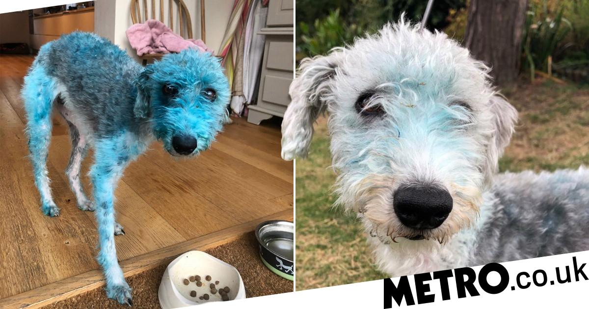 Dog turns herself blue after rolling on painting left to dry outside