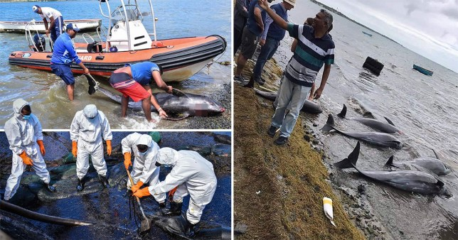 At least 24 dead dolphins wash up on a Mauritius beach after an oil spill.