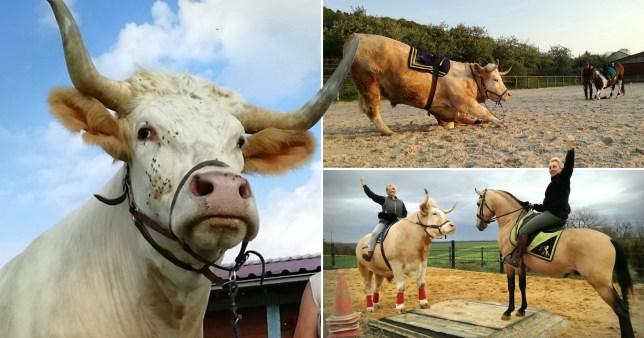 Aston the showjumping bull