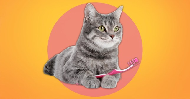 people are brushing their cats with damp toothbrushes
