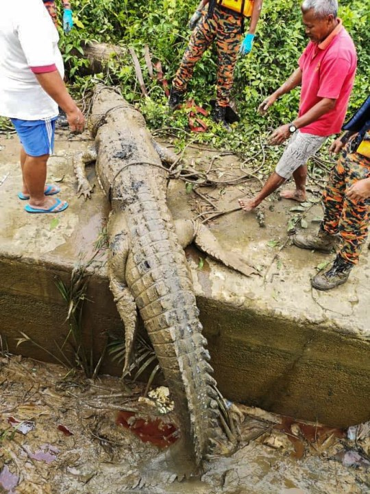 Kuching, Malaysia, July 31, 2020 (Pictures)??????This is the gruesome moment the remains of a fourteen-year-old boy were pulled from a crocodile's stomach. The 4.5 metre long beast was caught after teenager Ricky Ganya went missing in Kuching, Malaysia on July 31. He had been gathering snails with his relatives on the muddy riverbank when the crocodile leapt from the water. It then clamped its jaws around the boy's foot and dragged him underwater. The boy's aunt called for help and the emergency services arrived. They used a chicken as bait to lure the croc out of the water before it was trapped in a snare four days later. Furious locals cut open the reptile's stomach and found clothes belonging to Ricky as well as a number of severed body parts.