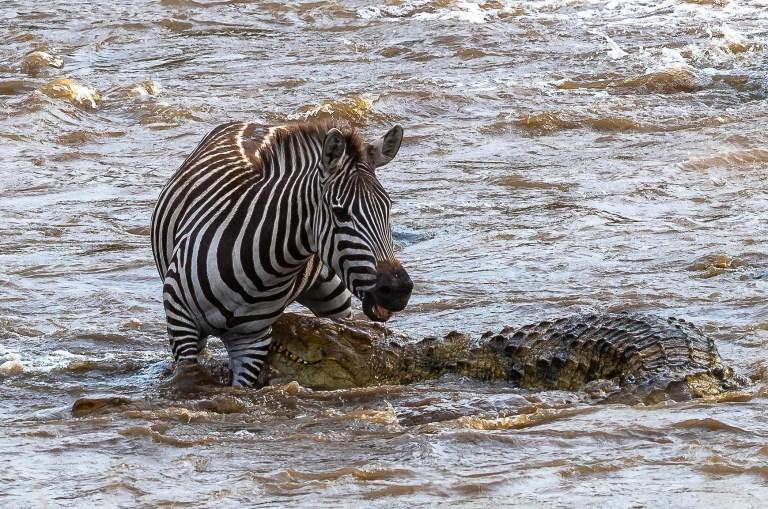 Un zèbre parvient à échapper aux mâchoires d'un crocodile affamé dans la rivière Mara.