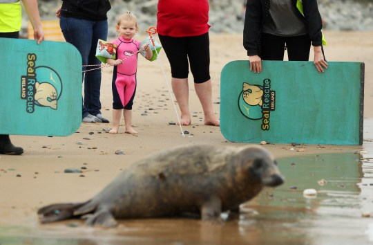 PARENTAL PERMISSION GIVEN Georgia Tomkins, 2, from Kiltipper, watches on as Scribbly Gum, an 8 month old grey seal, is released on a beach in Courtown, Co. Wexford. The seal was rescued in January with an eye infection which required surgery to remove the eye as part of his rehabilitation before release. PA Photo. Picture date: Friday August 7, 2020. The charity organisation rescue, rehabilitate and release native seals found sick, injured or orphaned from across the coast of Ireland. See PA story IRISH Seal. Photo credit should read: Brian Lawless/PA Wire