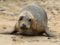 Scribbly Gum, le phoque borgne, retourne à la mer