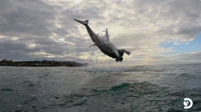 Chris Fallows broke a Shark Week record when he snapped a shot of a great white soaring 15 feet in the air. The stunning moment, captured at Seal Island South Africa, was released as part of Air Jaws, a series started in 2001.