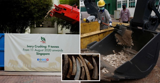 Singapore began the destruction of nine tonnes of ivory worth 18 million Singapore dollars (11.14 million Euro) seized from various sources over the years, including 8.8 tonnes of tusks from around 300 elephants, the largest haul destroyed globally since 2016. The event was held ahead of World Elephant Day, celebrated on 12 August annually.