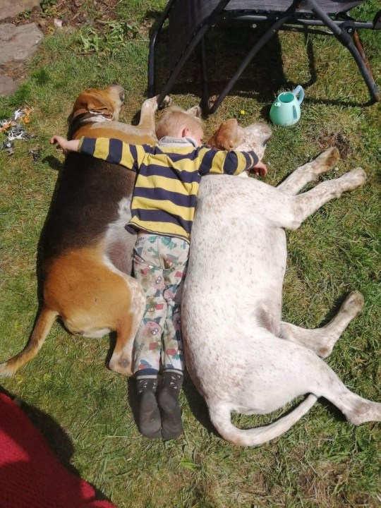 PIC FROM Kennedy News (PICTURED: ALEC COOK, 3, FALLS SLEEP WITH THE 'PACK' OF DOGS) This tot spends so much time with the family dogs that he 'thinks he's part of the pack' - barking at vehicles and drinking from a farm trough with them. Only child Alec Cook, three, was snapped joining three of his family's 12 dogs for the dubious 'refreshments' in the summer heat in Harwood Dale, North Yorkshire, on August 6. Hilarious photos show the toddler bending over to bury his face in the water-filled trough just like his canine pals, which mum Sarah-Louise Cook, 34, says is 'normal' for him. DISCLAIMER: While Kennedy News and Media uses its best endeavours to establish the copyright and authenticity of all pictures supplied, it accepts no liability for any damage, loss or legal action caused by the use of images supplied and the publication of images is solely at your discretion. SEE KENNEDY NEWS COPY - 0161 697 4266