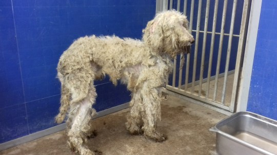 Rescuers found ten dogs with fur so matted they could barely see roaming by the side of a road of the A68 near Jedburgh, Scottish Borders, while others were found inside an abandoned building. See SWNS story SWSCdogs. Rescuers found ten dogs with fur so matted they could barely see roaming by the side of a road. Some of the animals were roaming loose by the side of the A68 near Jedburgh, Scottish Borders, while others were found inside an abandoned building. Animal welfare officers found it difficult to identity what breed the dogs were because of their matted coats, but have now confirmed they are labradoodles. The Scottish SPCA (SSPCA) and Arthurshiel Rescue Centre helped with the rescue on Saturday (August 22).
