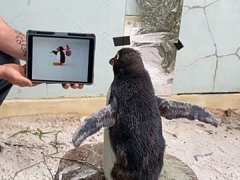 Penguin isolated in zoo gets over his loneliness by binge watching Pingu