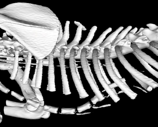 An x-ray of Peanut the cat, pre-operation.