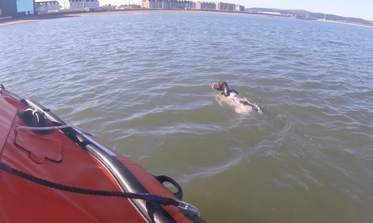 A dog rescued from the sea off the coast of Rhyl after chasing seagulls swims next to an RNLI boat