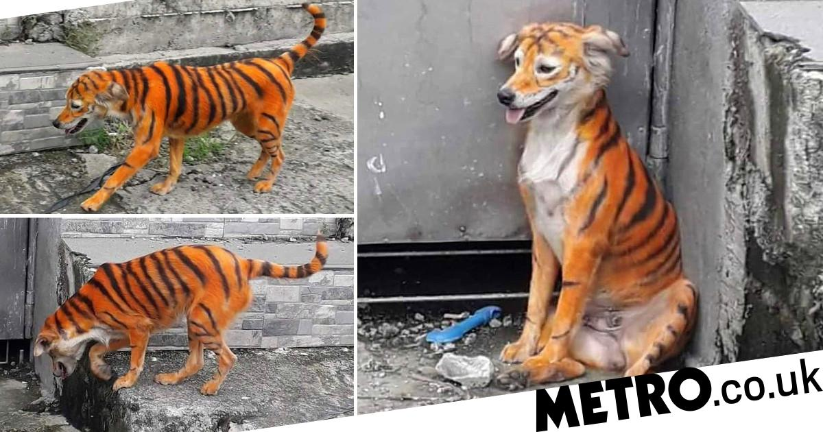 Anger as stray dog painted orange and black to look like tiger