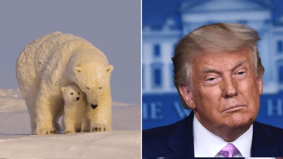 WWF warn Donald Trump's plans for drilling in Alaska 'could kill' polar  bears | Metro News