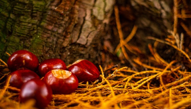 Conkers on the ground