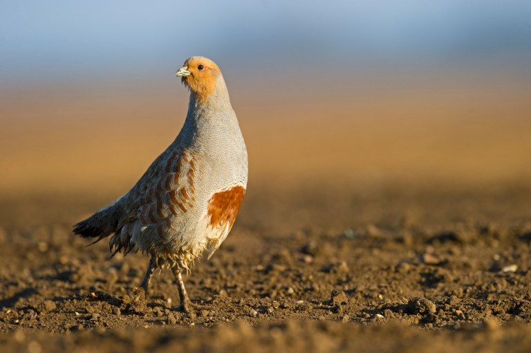 Grey Partridge (Perdix perdix) on a bare field, Norfolk, England, UK.