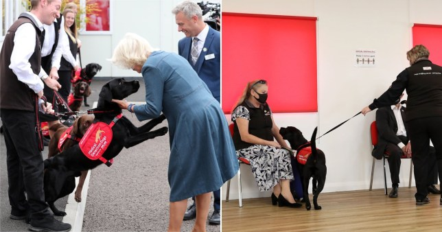 Camilla meets dogs who are being trained to sniff out coronavirus.